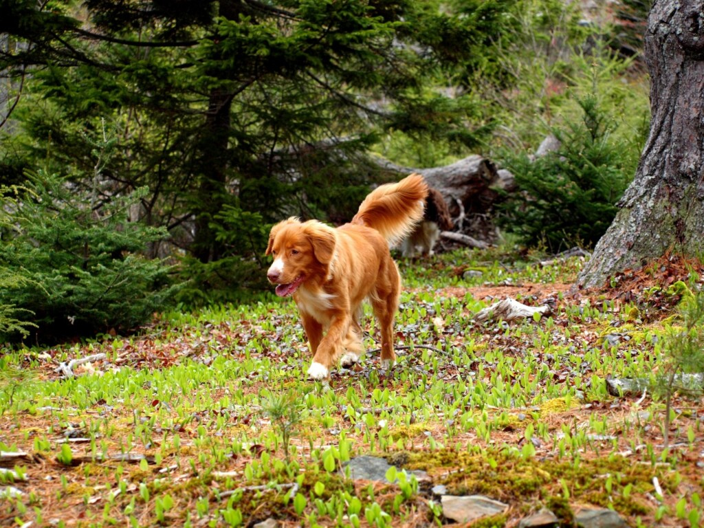 Bird Hunting Dogs - Nova Scotia Duck Tolling Retriever Club of Canada - Duck Retriever