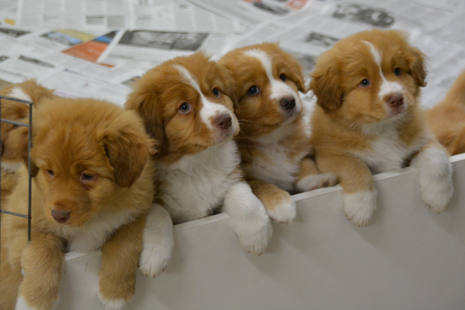 Duck Tolling Retriever Puppy - Nova Scotia Duck Tolling Retriever Club of Canada - Nova Scotia Retriever