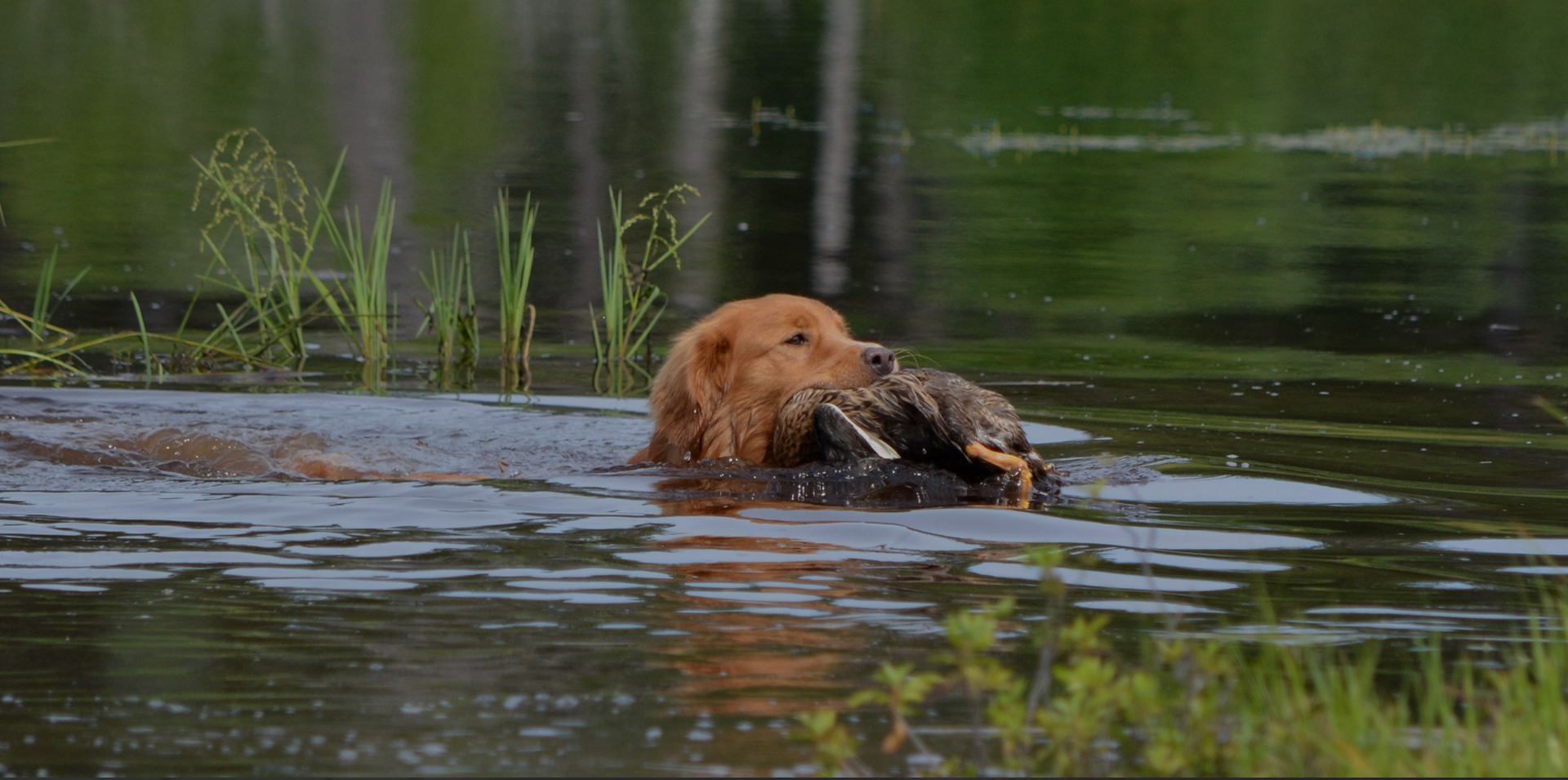 Small Hunting Dogs - Nova Scotia Duck Tolling Retriever Club of Canada - Duck Toller