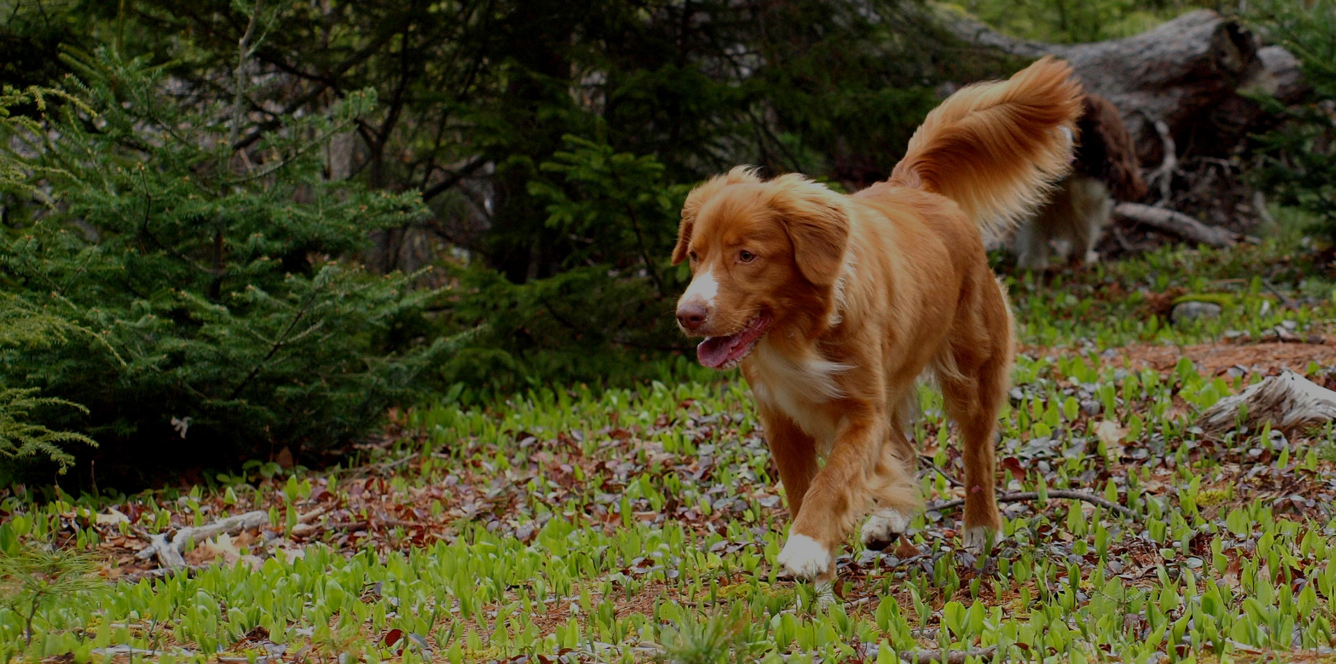 Hunting Dogs - Nova Scotia Duck Tolling Retriever Club of Canada - Hunting Dog Breeds