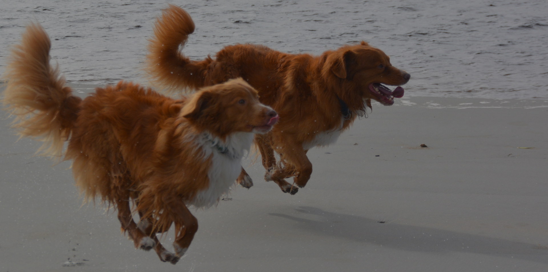 Nova Scotia Duck Tolling Retriever Club of Canada 10