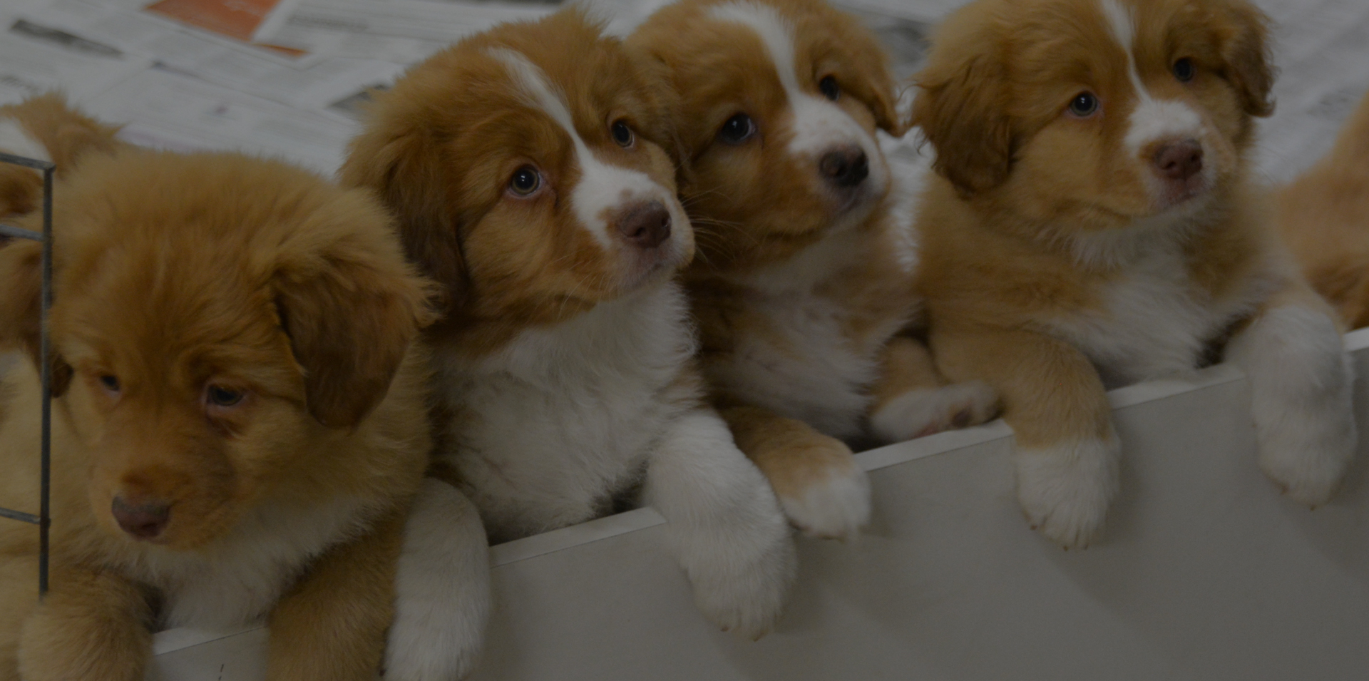 Nova Scotia Duck Tolling Retriever Puppy - Nova Scotia Duck Tolling Retriever Club of Canada - Duck Tolling Retriever Puppy