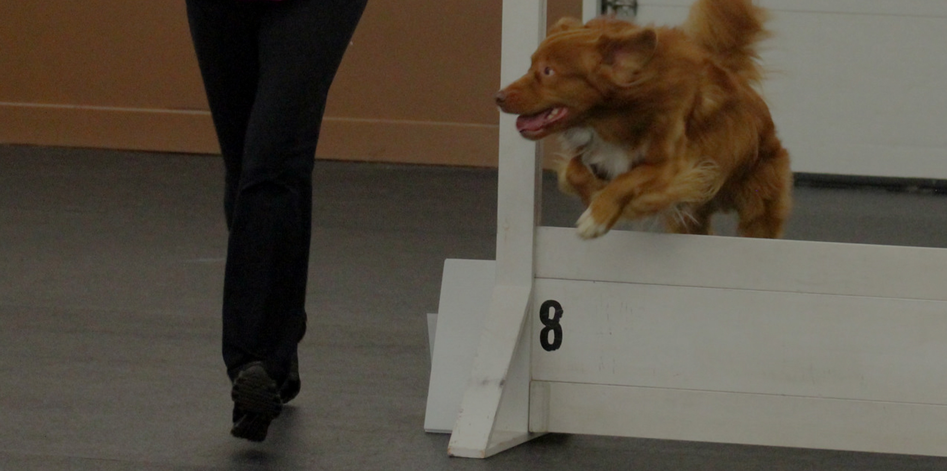 Toller Dog - Nova Scotia Duck Tolling Retriever Club of Canada - Toller Retriever