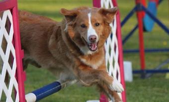 Small Hunting Dogs - Nova Scotia Duck Tolling Retriever Club of Canada - Duck Toller