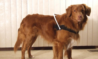 Duck Tolling Retriever - Nova Scotia Duck Tolling Retriever Club of Canada - Nova Scotia Retriever